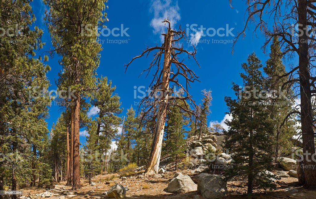 Lightning pine in forest royalty-free stock photo