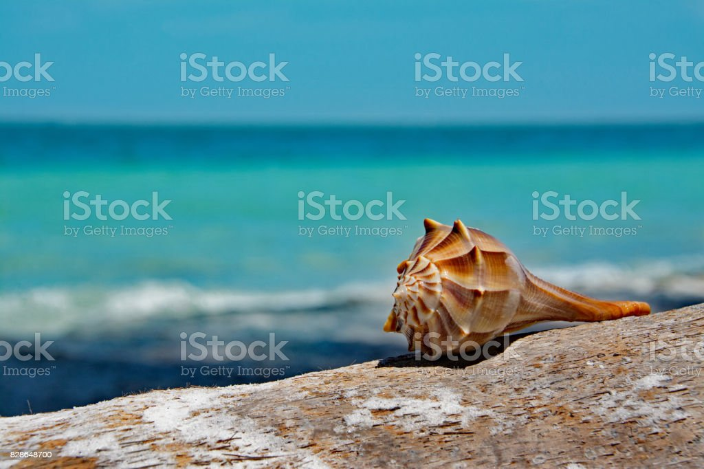 Lightning Whelk stock photo