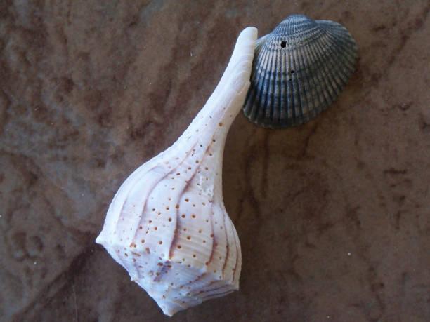 Lightning Whelk seashell stock photo