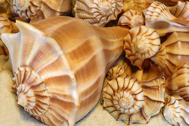 Lightning whelks of various sizes displayed on sand stock photo