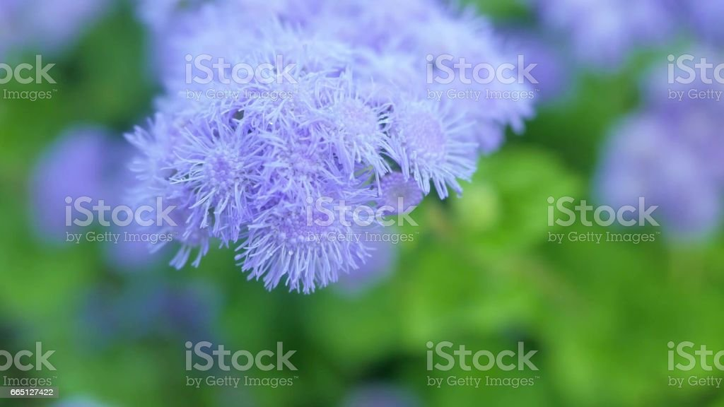 Light Purple Flowers Of Ageratum In A Green Garden Royalty Free Stock Photo