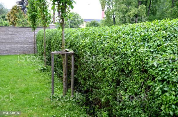 Photo of ligustrum ovalifolium vulgare green hedge trimmed in the garden yard lawn trees in row alley evergreen edge round