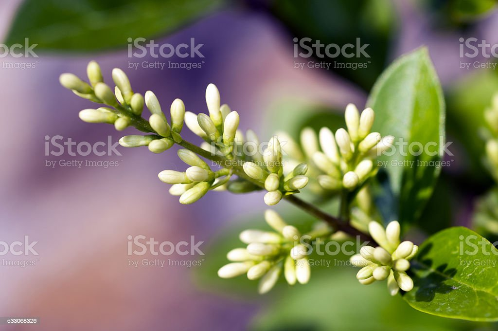 Ligustrum vulgare stock photo