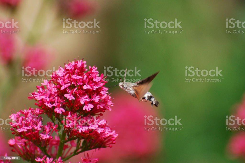 Like a hummingbird stock photo