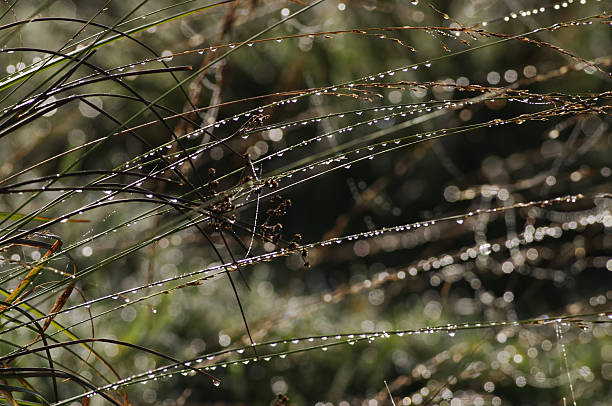 strings of dew beads water droplets on reed grasses - whiteway stock photos and pictures