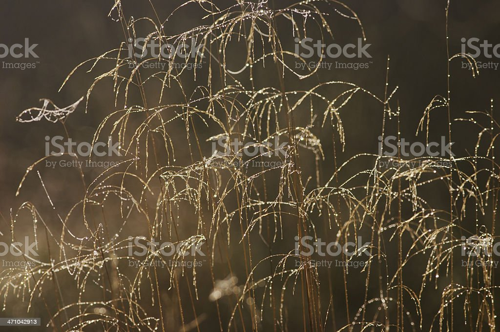 Like fairy lights on Christmas tree grass with dew beads royalty-free stock photo