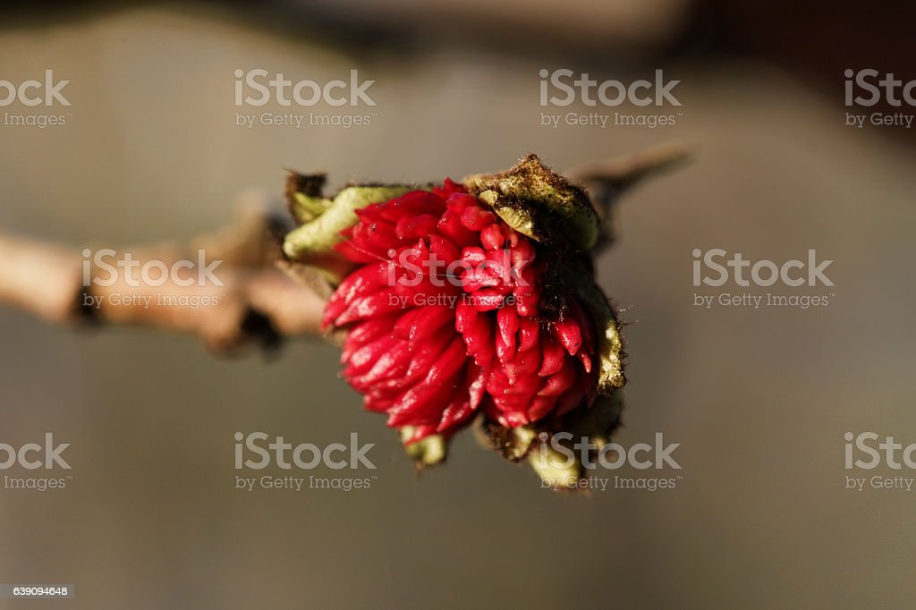Red flower on Persian ironwood tree close up stock photo