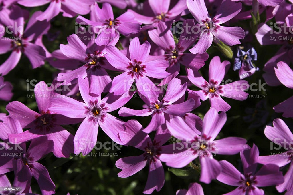 lil' lilas royalty-free stock photo