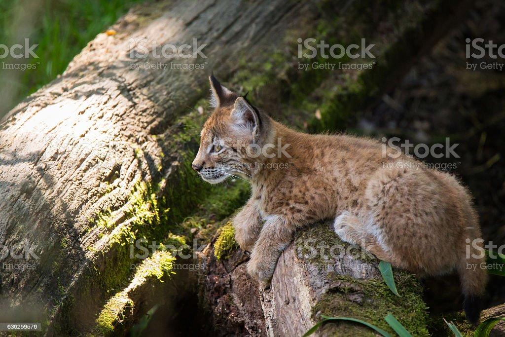 li'l lynx stock photo