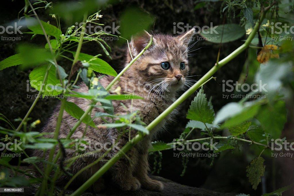 Li'l wildcat stock photo