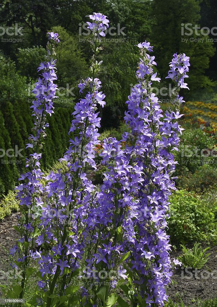 lila flowers of Campanula pyramidalis royalty-free stock photo