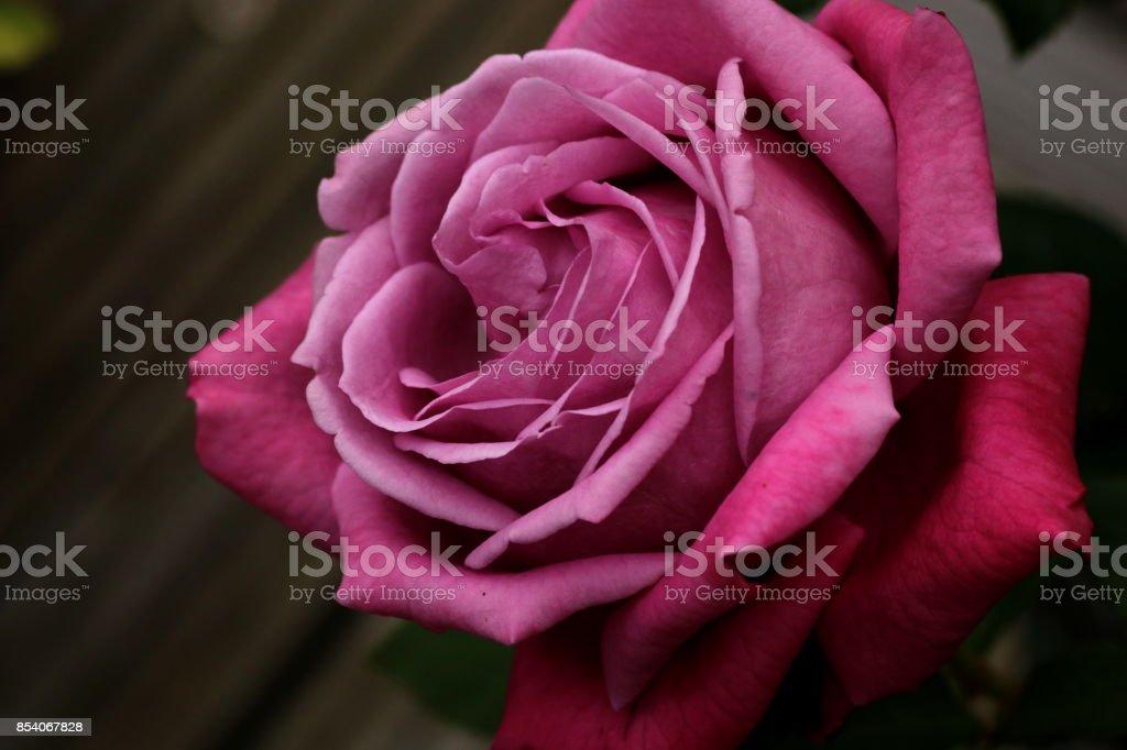 Rosa Hintergrundbilder Bilder Und Stockfotos Istock