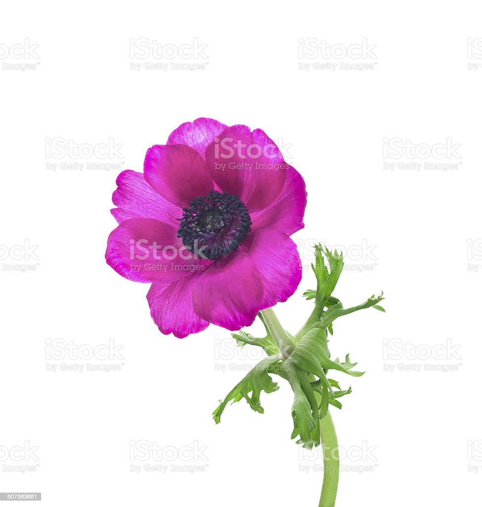 lilac  anemone with curved stems and leaves, isolated stock photo