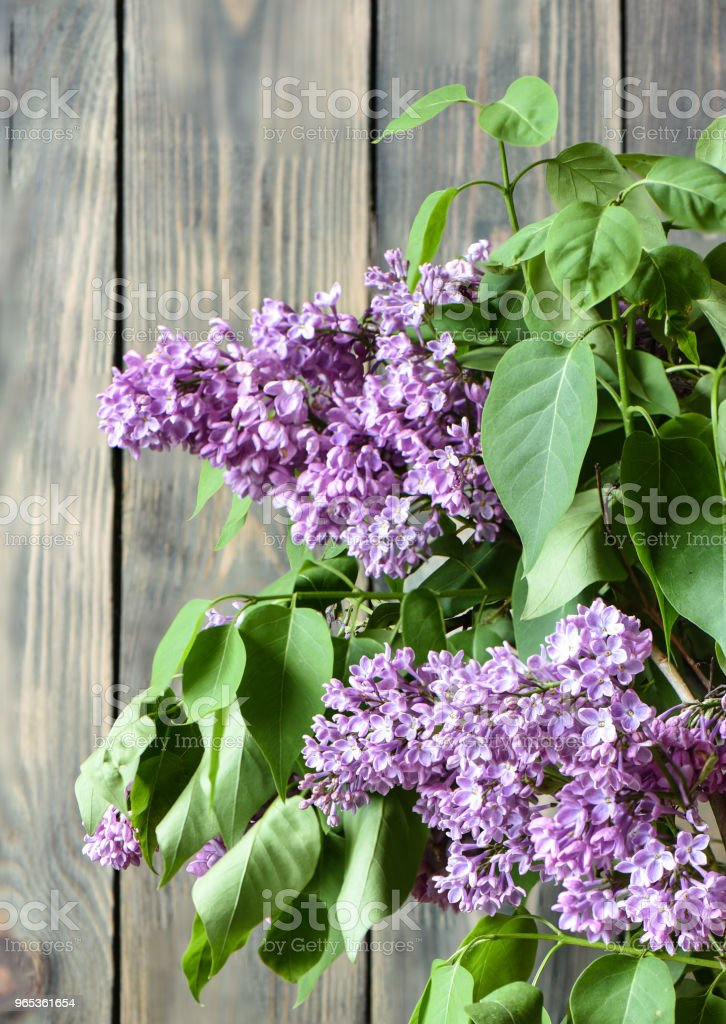 Lilac at an old fence. Selective focus royalty-free stock photo
