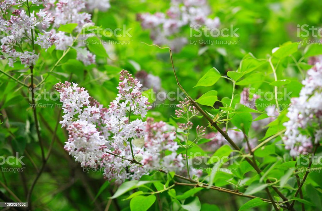 lilac at spring stock photo