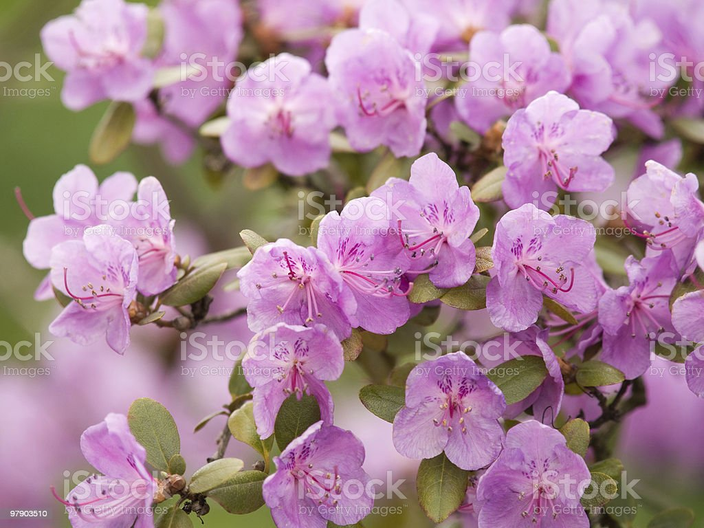 Lilac azalea royalty-free stock photo