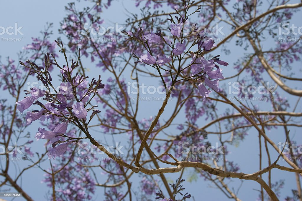 Lilac blossom on tree royalty-free stock photo