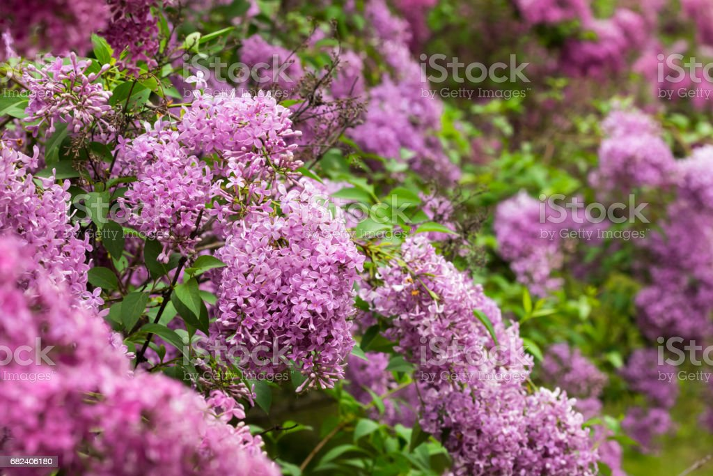 Lilac blossom royalty-free stock photo