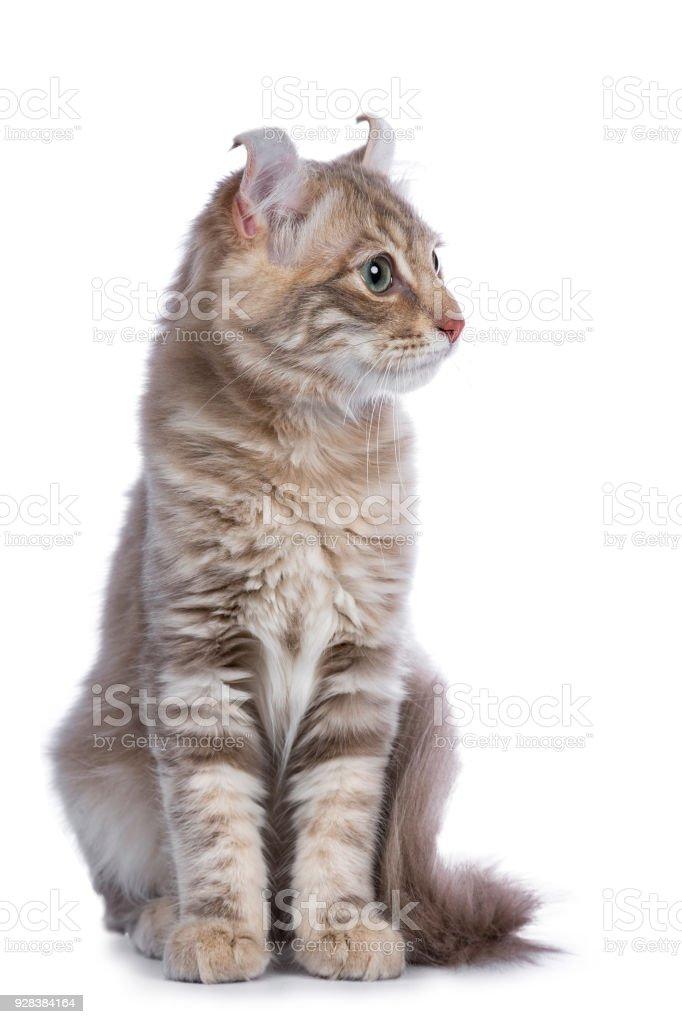 Lila blotched Cyperse American Curl kat / kitten front geconfronteerd met de camera op zoek kant manieren / profiel geïsoleerd op witte achtergrond foto