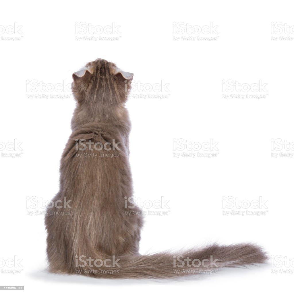 Lila blotched Cyperse American Curl kat / kitten zitten achteruit geïsoleerd op een witte achtergrond opzoeken foto