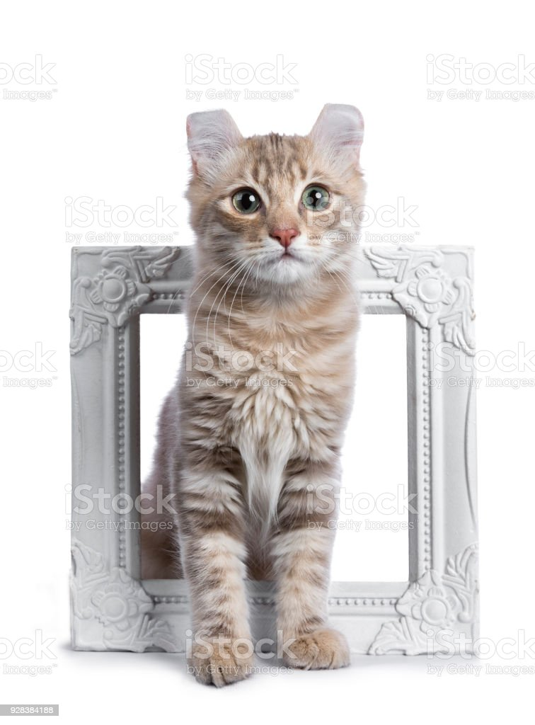 Lilac Blotched Tabby American Curl Cat Kitten Sitting Through A ...