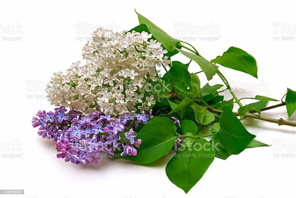 Сирень Букет на белом фоне Стоковые фото Стоковая фотография
