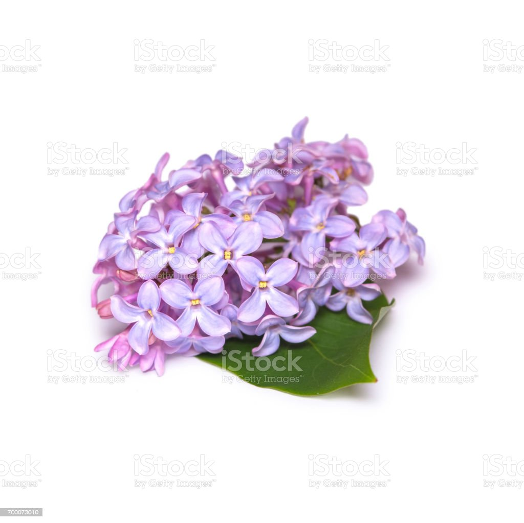 Lilac Branch Isolated On White Background Spring Purple Flower Stock ...