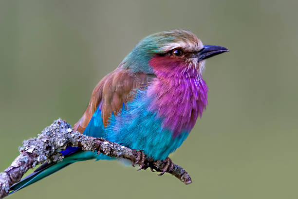Lilac breasted roller in Kenya, Africa stock photo