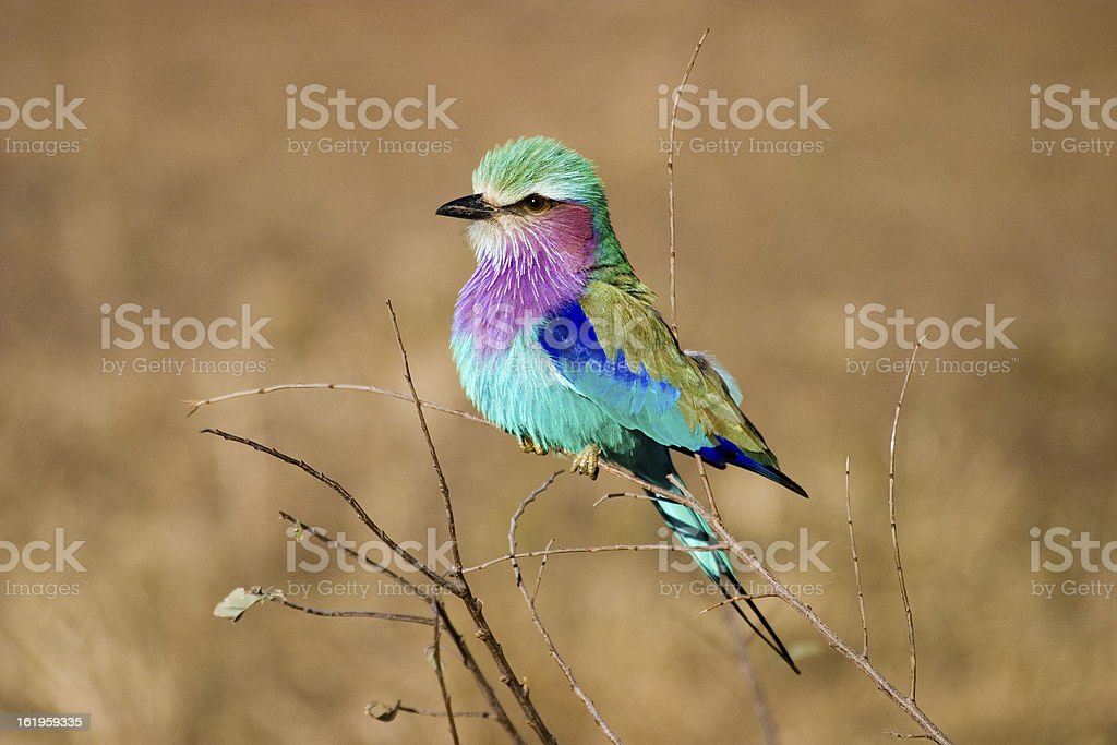 Lilac Breasted Roller, Mpumalanga Province South Africa stock photo