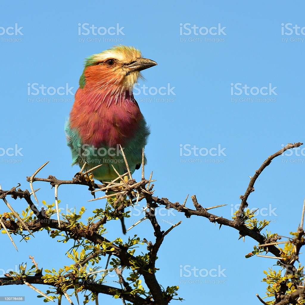 lilac breasted roller royalty-free stock photo