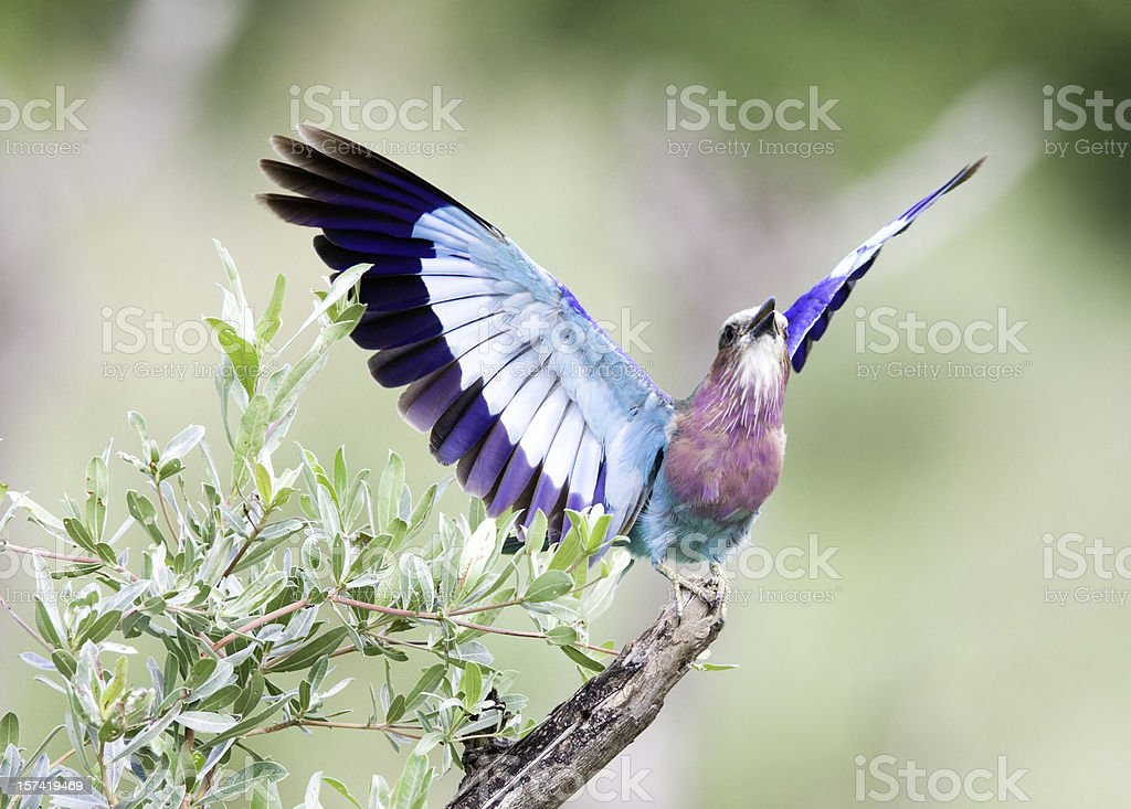 Lilac Breasted Roller Abheben – Foto