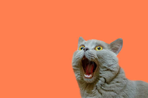 istock A lilac British cat with a blue coat looking up. The cat opened his mouth with a mad look. The concept of an animal that is surprised or amazed. The figure of a cat on an isolated background of coral color. 1144671250