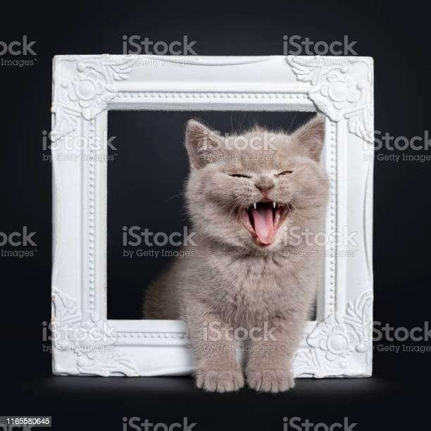Lilac british shorthair kitten on black picture id1165580645?b=1&k=6&m=1165580645&s=612x612&h=19umwchhrwsihzbvufmjdq4bscjnyhtlnwj9ypj7zsg=