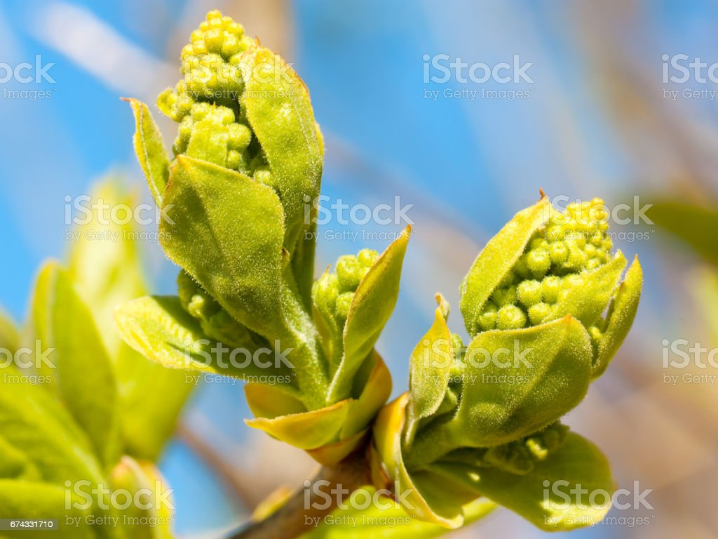 Lilac buds closeup stock photo