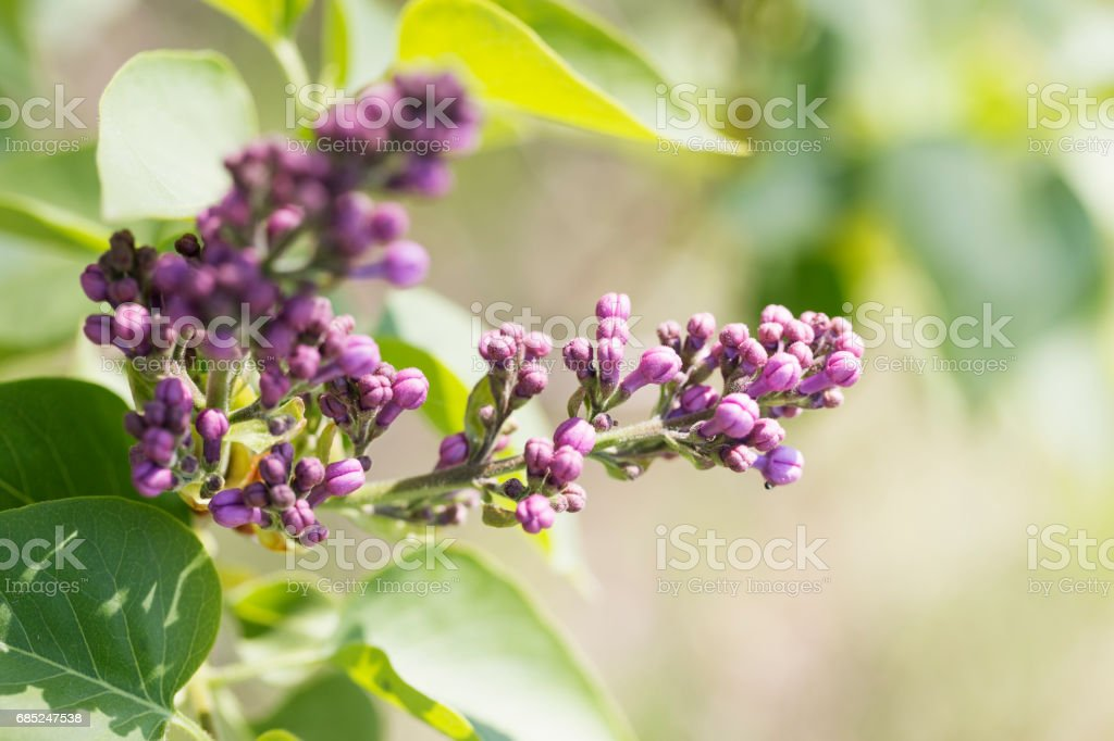 Lilac Buds foto de stock royalty-free