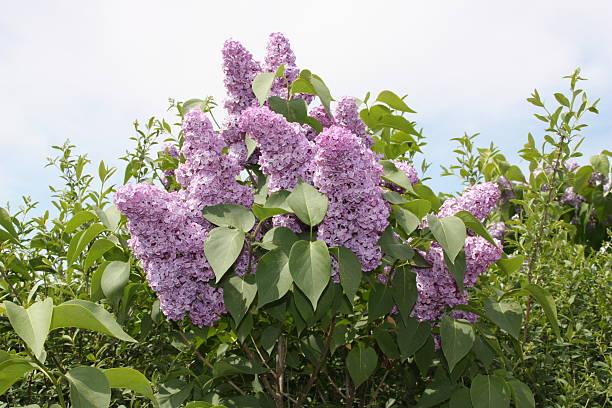 Lilac Bush – Foto