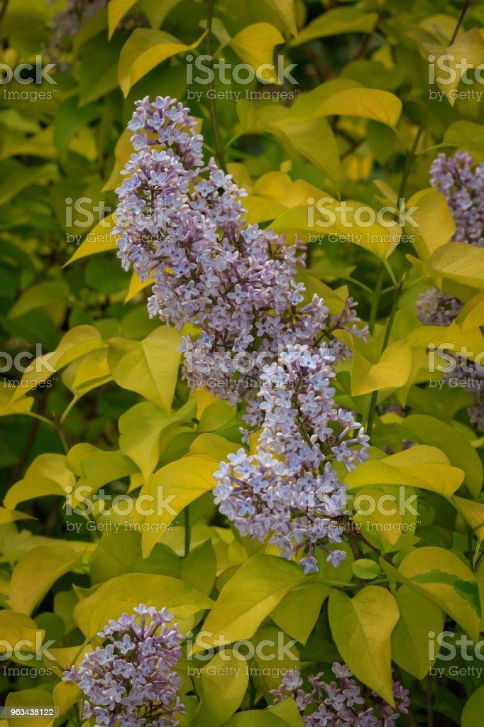 krzak liliowy (Syringa vulgaris) - Zbiór zdjęć royalty-free (Bez ludzi)
