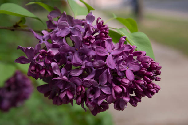 Lilac Cluster stock photo