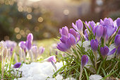 Lilac colored crocuses in spring snow with bokeh background