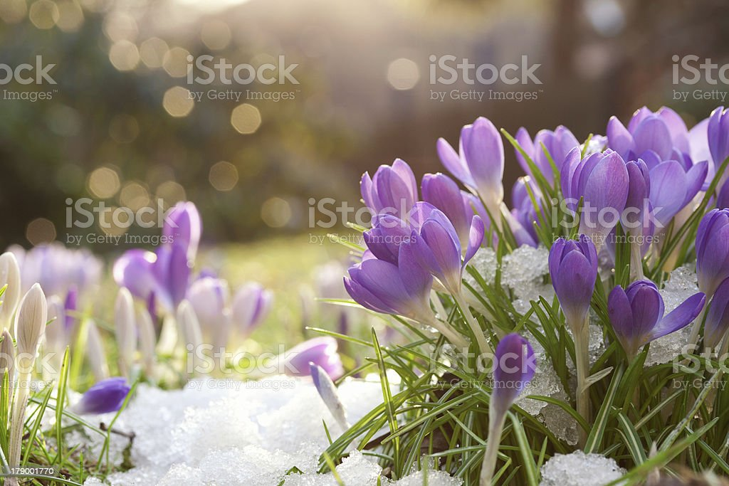 Lilac colored crocuses in spring snow with bokeh background stock photo
