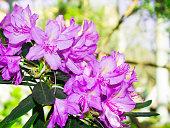 lilac flower Azalea close. subtropical plant
