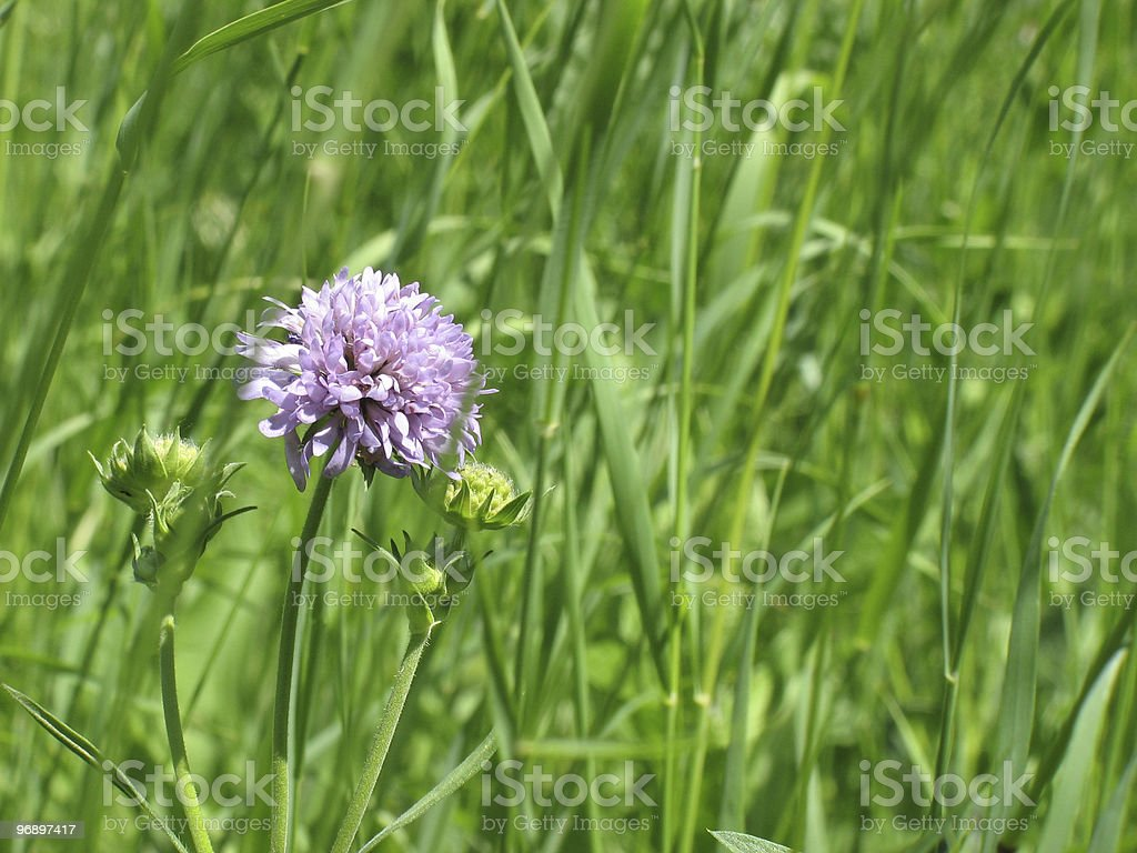 Lilac flower on  meadow. royalty-free stock photo