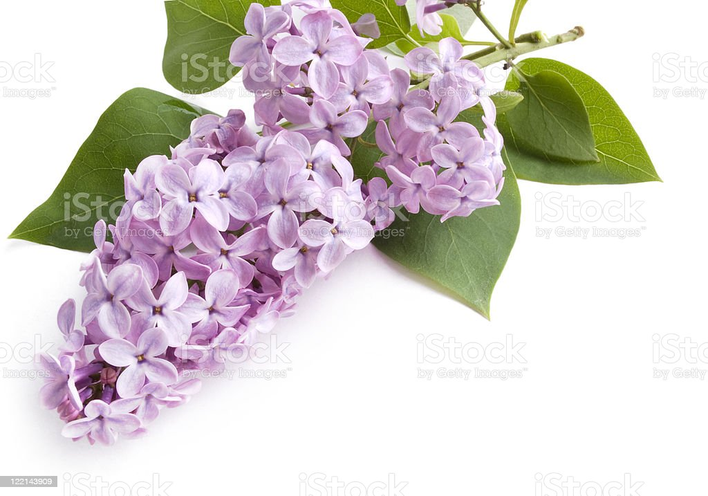 Lilac flower on white royalty-free stock photo