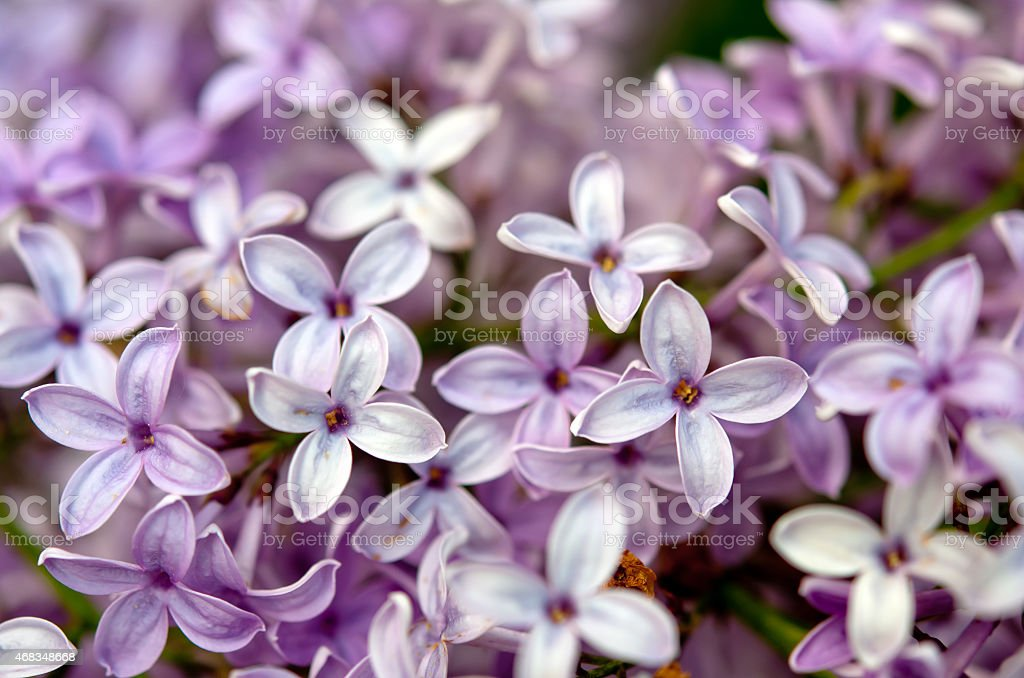 lilac flower royalty-free stock photo