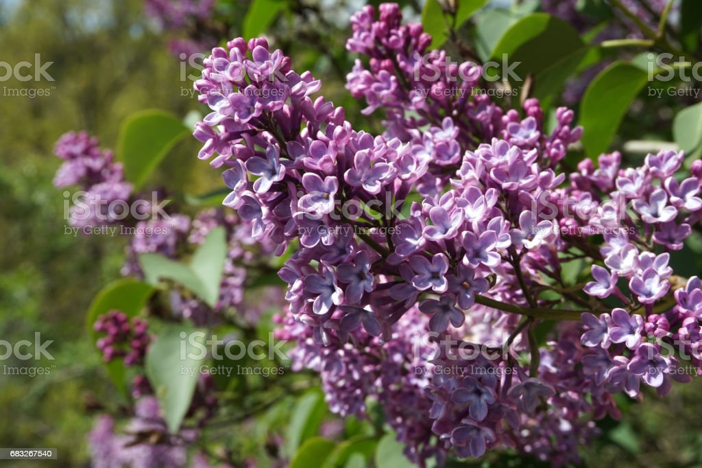 Lila Blüte Lizenzfreies stock-foto
