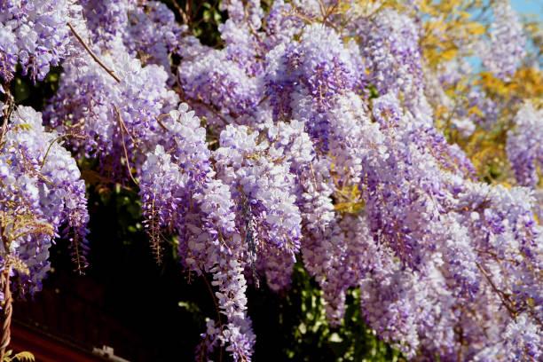 lila blüte  - blauregen stock-fotos und bilder