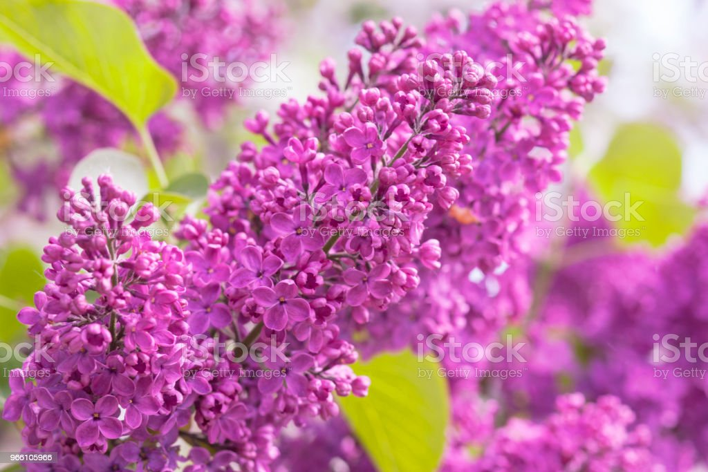 Lila blomma - Royaltyfri Arrangemang Bildbanksbilder