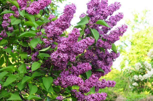 Lila bloei: prachtige tuin Violet Lila bloeien foto