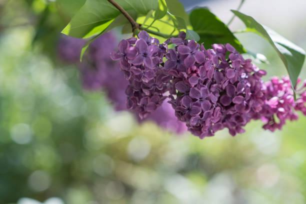 Fliederblüte im Garten – Foto