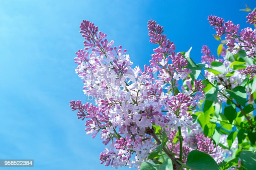 a branch of blossoming lilac against the blue sky in the spring